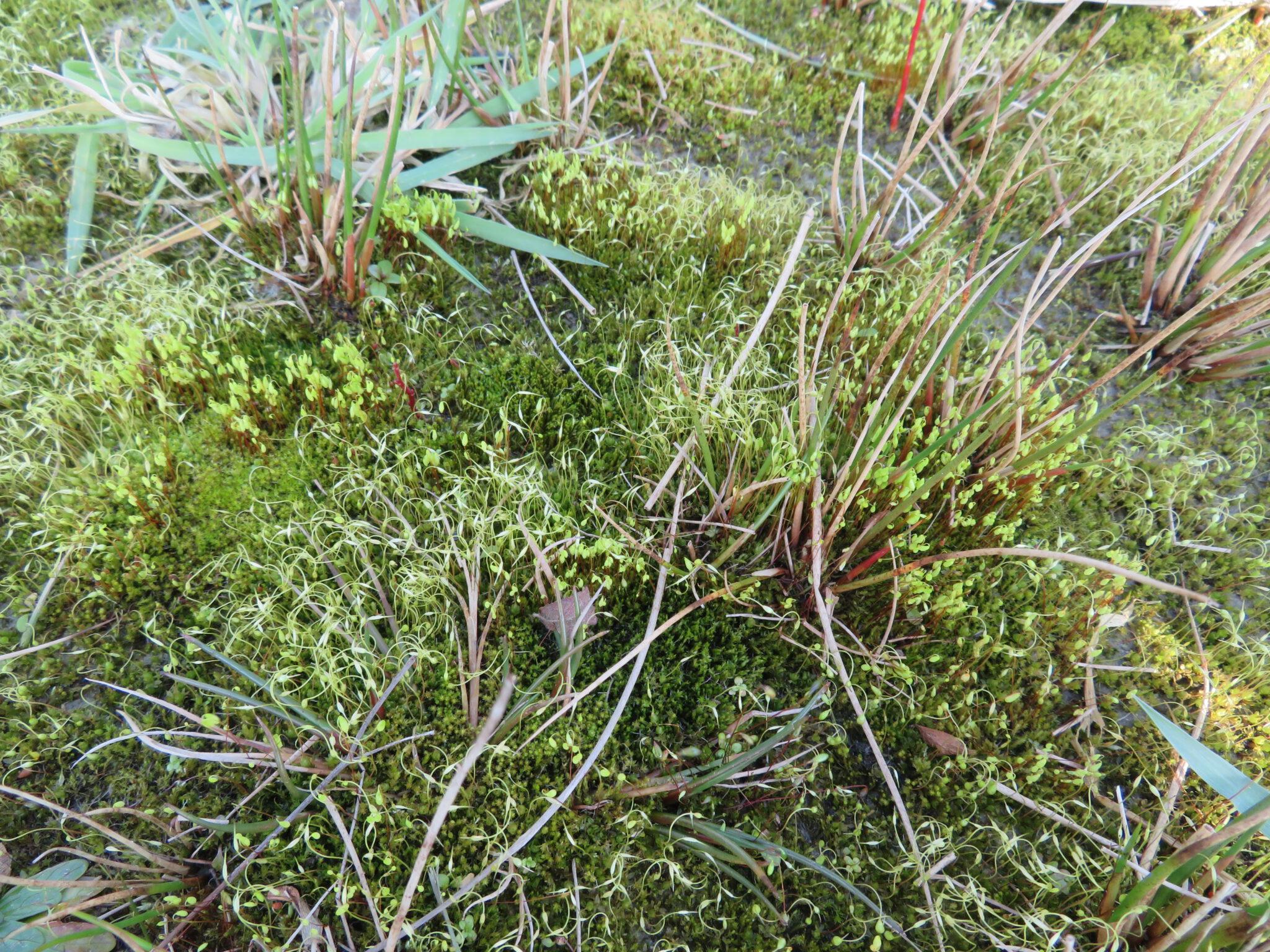 Zaterdag 12 december 12.00: Online lezing op de FLORON dag  over Plantenmonitoring in de Binnenveldse Hooilanden