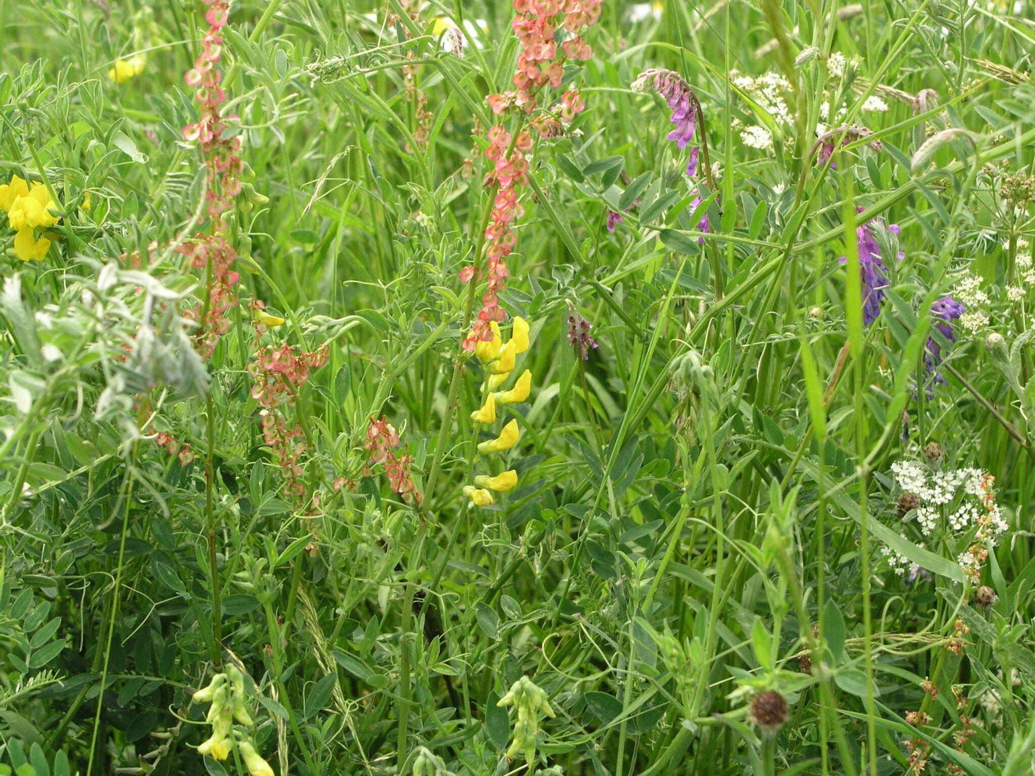 Stikstof en de ontwikkeling van de biodiversiteit in de Binnenveldse Hooilanden