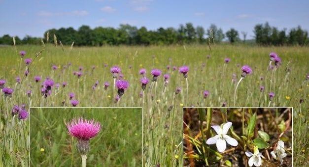 Monitoring planten Binnenveldse Hooilanden: komen Spaanse ruiter en Melkviooltje terug?