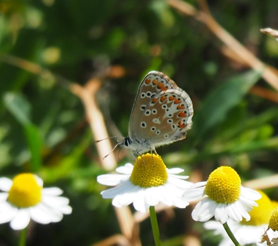 Maandag 23 november 20.00 uur:   Online lezing over 'Libellen en vlinders in de Groene Grens'